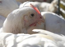 Influenza aviaria. Pulizia e disinfezione dei mezzi di trasporto: le indicazioni del Ministero della Salute e il  fac-simile dell'attestazione