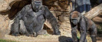 Covid negli Usa, molti gorilla positivi nello zoo di San Diego. Sono i primi casi rilevati fra questi primati