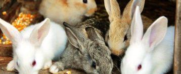 Protezione conigli di allevamento. Il Parlamento europeo chiede alla Commissione una normativa che definisca standard minimi