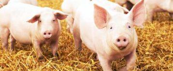 Scoperto nei maiali in Cina un nuovo virus capace di causare una pandemia. Si ritiene che sia già passato agli umani, ma non ci sono prove che possa essere trasmesso da uomo a uomo