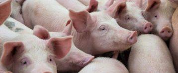 Incontri Italia Cina per collaborazione scientifica nella lotta alle grandi malattie animali. Focus su misure prevenzione e controllo messe in atto dall'Italia per contenere la peste suina africana