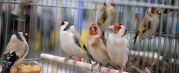Aviaria. Ordinanza Regione per consentire mostre ed esposizioni di volatili diversi dal pollame in territori non a rischio