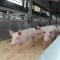 La Corte dei conti europea verificherà se Commissione e Stati membri hanno rispettato le misure riguardanti il benessere degli animali