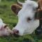 OIE: stato ufficiale delle malattie animali del maggio 2018. Certificati 10 paesi con riconoscimento dello status di malattia