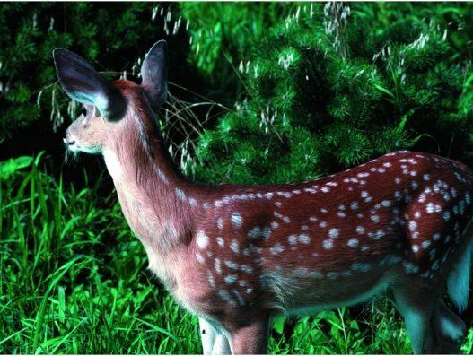 """Anche """"Bambi"""" contrae l'infezione da Sars-CoV-2. Studio di sieroprevalenza negli Stati Uniti. Tale suscettibilità potrebbe interessare anche i caprioli e gli altri cervidi autoctoni"""