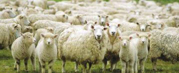 La Regione trasmette alle Ulss il nuovo Piano di controllo della Blue tongue in Veneto approvato dal ministero della Salute