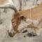 Fao. Emergency Prevention System for Animal Health: dermatite nodulare contagiosa del bovino