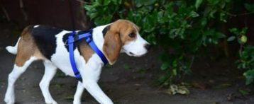 Patentino. Dal 20 settembre a Povegliano Veronese al via corso di formazione dell'Usl 9 per proprietari e futuri proprietari di cani