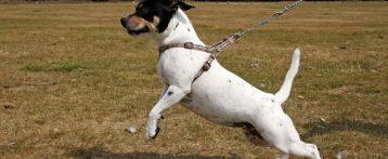 Patentino per cani morsicatori, dal 14 settembre al via a Rovigo il corso di formazione. Quattro lezioni teoriche e pratiche per i proprietari