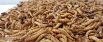 Primo parere positivo agli insetti nel piatto. L'Europa rivoluziona la tavola. L'Autorità per la sicurezza alimentare riconosce la larva della farina come cibo: è ricca di proteine, grassi e fibre