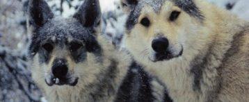 «Sparate a lupi e orsi». Il progetto di legge passa tra le polemiche. Il Veneto chiede allo Stato di contenere specie e danni
