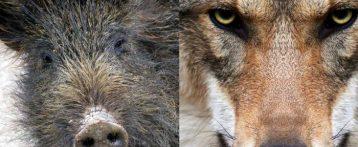 Corso di alta formazione sulla biologia del lupo e cinghiale a Verona, il 22 e 29 marzo due giornate Ecm accreditate dall'Associazione Vincenzi