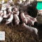 L'azione dell'UE per il benessere degli animali: la Corte dei conti europea invita a colmare il divario tra obiettivi ambiziosi e attuazione sul campo