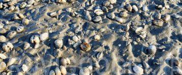 Moria di vongole nelle lagune Marinetta e Caleri, i servizi veterinari dell'Ulss 5 polesana hanno studiato la causa: la colpa è di un'alga