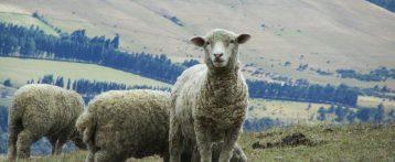 Dal Minsalute le Linee guida per facilitare l'applicazione della complessa normativa che regola la gestione delle TSE negli ovini e nei caprini