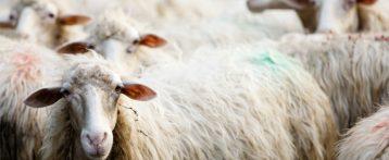 Allarme Copagri, Blue tongue: in Sardegna situazione fuori controllo; malattia in continua e rapida ascesa