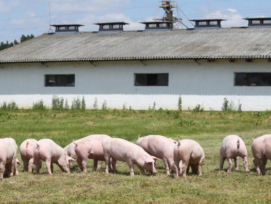 Peste suina africana: rischi da allevamenti suini all'aperto e misure di biosicurezza e controllo per gli allevamenti nelle zone dell'UE colpite dalla PSA