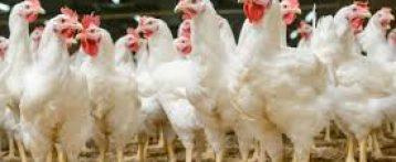 Emergenza Covid. Corsi di formazione online per allevatori di polli allevati per la produzione di carne, le nuove disposizioni del Ministero della Salute