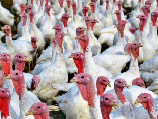 """Focolaio aviaria H5N1 in provincia di Ferrara. Il Minsalute: """"Le Regioni adottino misure per ridurre il rischio"""". Indicazioni operative per rafforzare la biosicurezza e la sorveglianza sul territorio nazionale"""