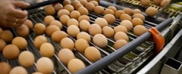 Uova al Fipronil. Regione Veneto affida ai servizi veterinari piano di controlli a campione in centri imballaggio e lavorazione ovoprodotti