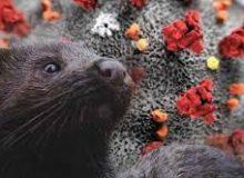 Visoni. Il sequenziamento genomico rivela le dinamiche dell'entrata di Covid-19 negli allevamenti e la trasmissione della zoonosi di ritorno  animale-uomo nei Paesi bassi
