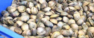 Livelli elevati di Pfoa in molluschi Adriatico: le vongole spia dell'inquinamento ambientale. Il ruolo degli alimenti di origine animale nell'esposizione, ricerca Università di Milano